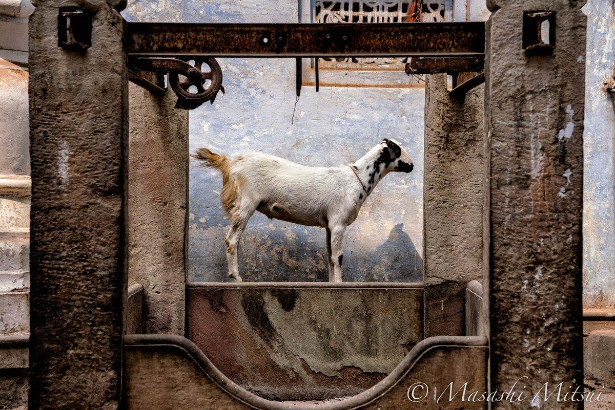 インドの街角では、放し飼いになっている山羊をよく目にする。これは井戸の隙間に入り込んでいた山羊だが、まるで額縁の絵のようで素敵だった。