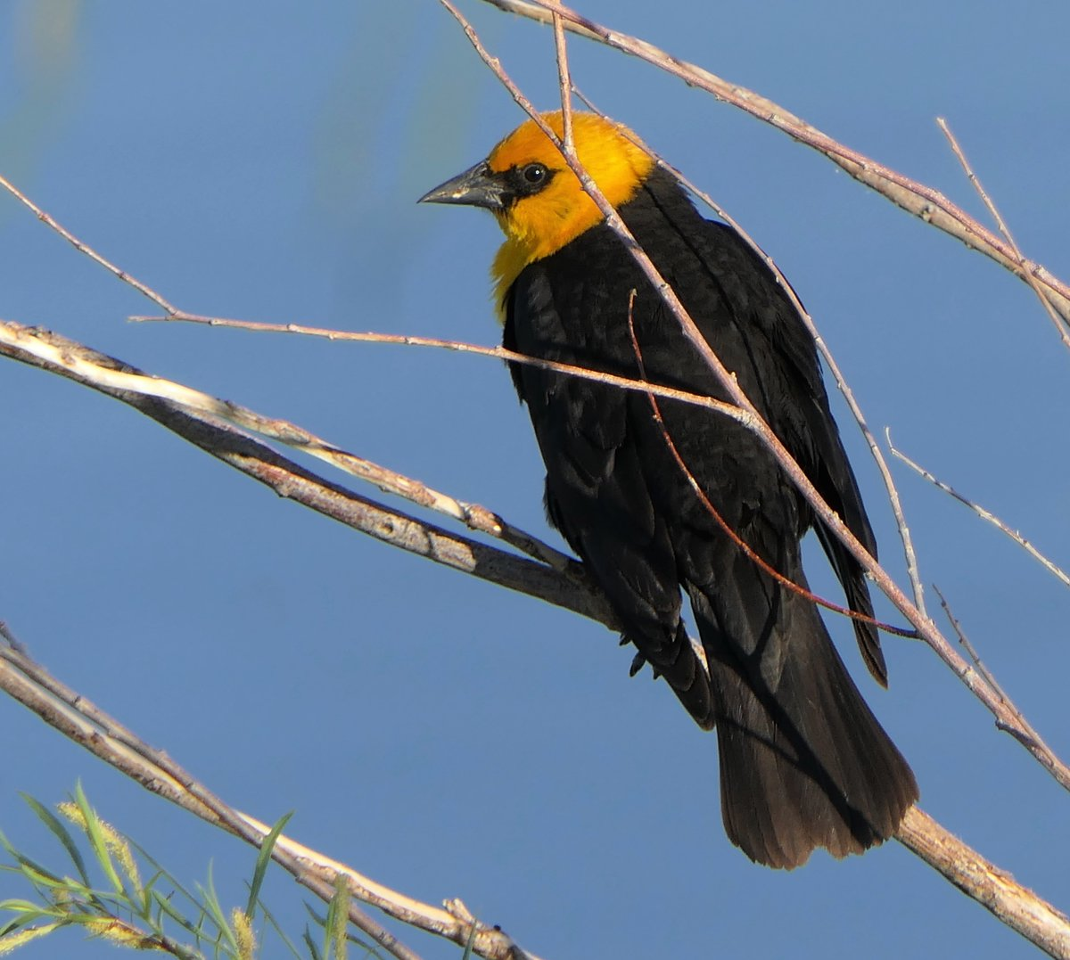 Yellow-headed Blackbird and Stick With It. And that is pretty good advice - Follow your passion and Stick With It. #Alberta #birds #birding <br>http://pic.twitter.com/f0OifpwUxU
