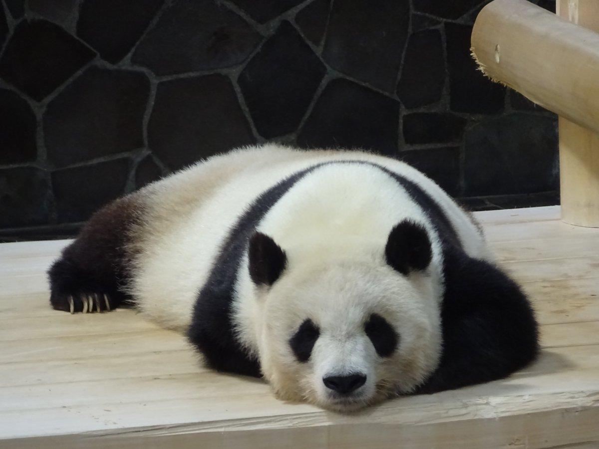 たんたんさん、現在お昼寝中でございます😴今日はスタンダード?な寝かたでした(笑)#きょうのタンタン #王子動物園#眠れる森の美女パンダ