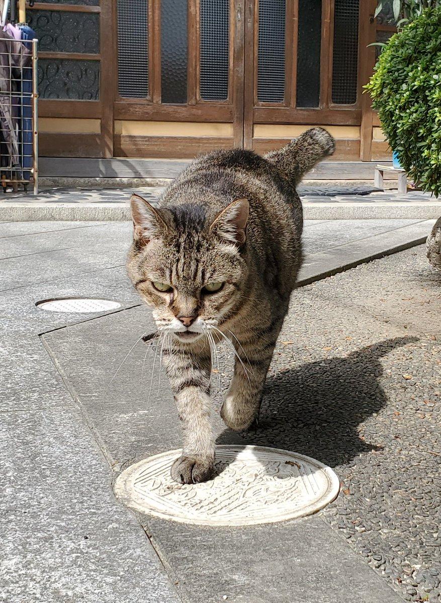 これは顔面ヤクザだけど呼ぶと必ず撫でられに来る近所の猫 https://t.co/hx1qRMICYf