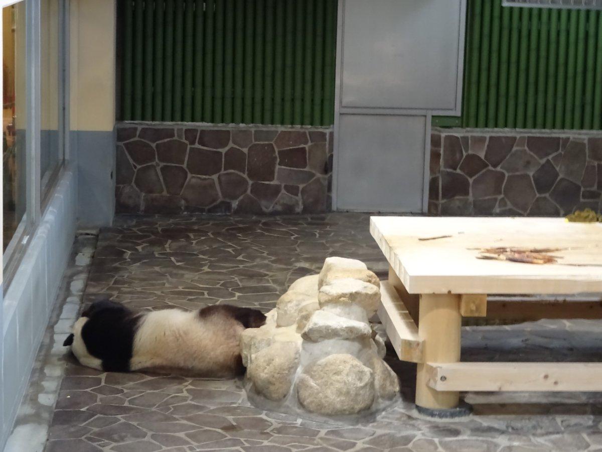 たんたんさん、まだ起きません🤣現在はこんな感じになっております(笑)#きょうのタンタン #王子動物園#どこで寝てもそりゃあいいんだけどね