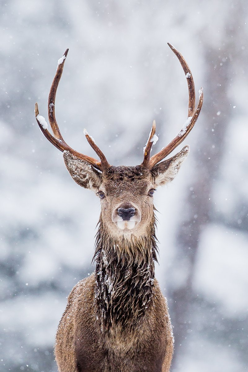 A throwback to last Winter and an awesome red deer stag in falling snow. Have a great weekend #deer #winter