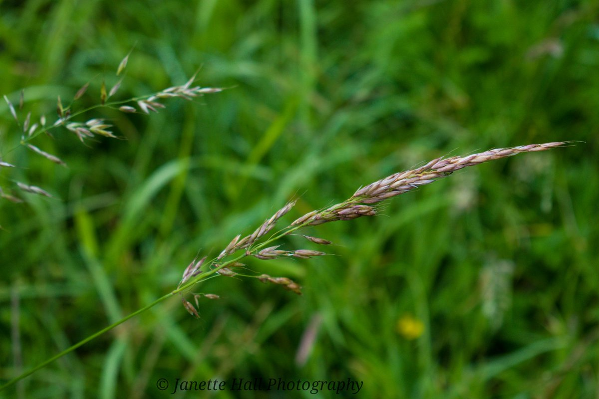 Wheat in the fields 🌾 #wheat #farmersfields #fields #preston #Lancashire #nature #naturephotography #uk #ukphotography #uk_greatshots @BBCWthrWatchers @bbcweather @OwainWynEvans @DigitalCameraW @metoffice #loveukweather @bbcstudios https://t.co/SRQQzDIwlu