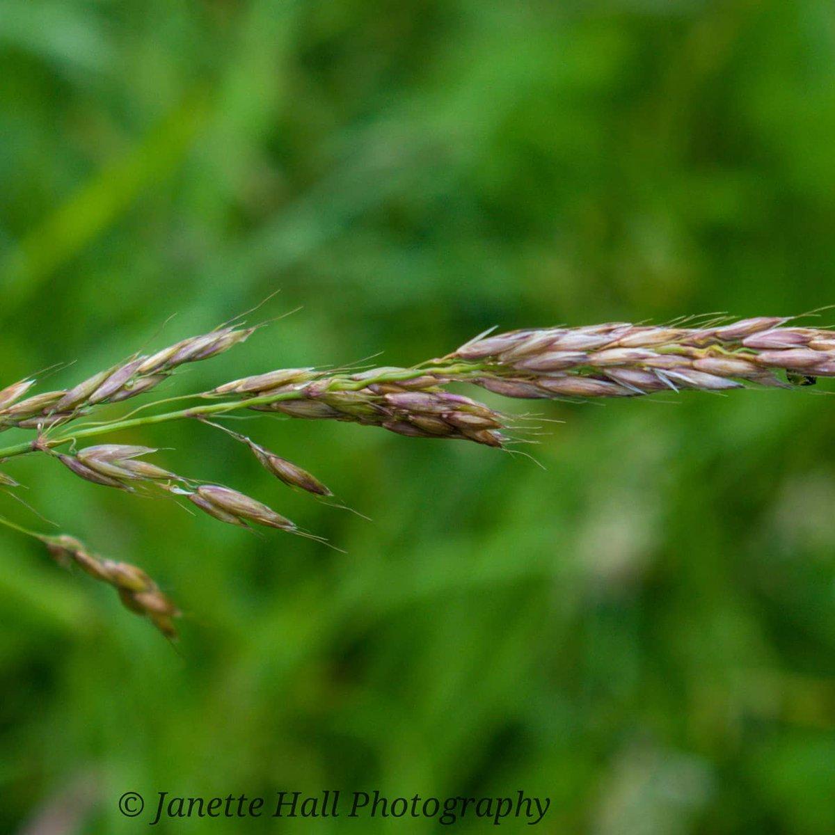 Wheat in the fields 🌾 #wheat #farmersfields #fields #preston #Lancashire #nature #naturephotography #uk #ukphotography #uk_greatshots @BBCWthrWatchers @bbcweather @OwainWynEvans @DigitalCameraW @metoffice #loveukweather https://t.co/CCxuq2pMf6