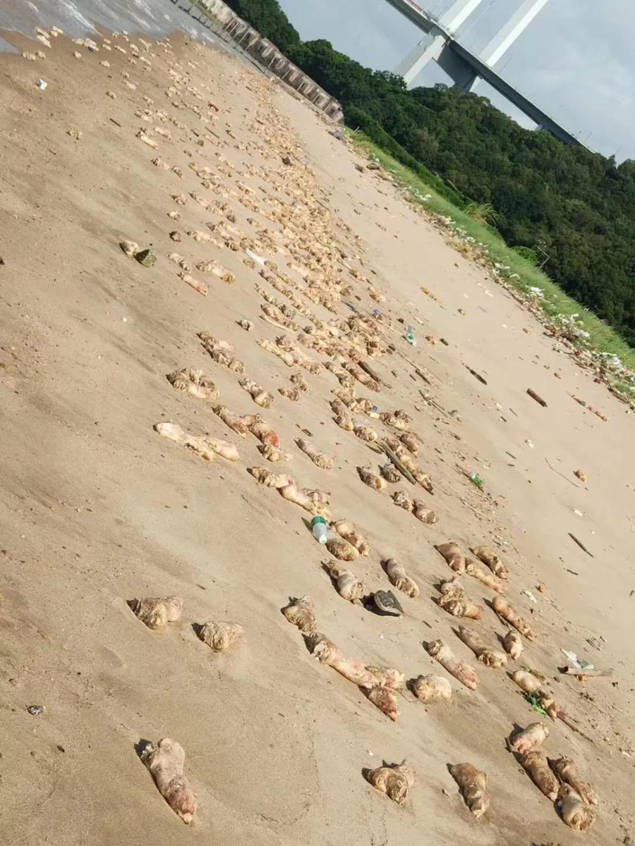 Tons of pigs' hooves have washed up on a beach in #Dongguan, Guangdong on Saturday. Municipal workers cleaning up the mess say there could be 20 tons of pigs' feet spread along the beach. Police are investigating the source of the mess. https://t.co/4CNEwXCAnO