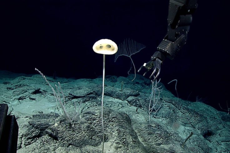 """A marine creature that resembles the alien ET has been found growing in the eastern Pacific seafloor rock nearly 1300 kilometres south-west of Hawaii. The """"E.T. sponge"""" has been classified as a new species and genus: glass sponge, Advhena magnifica  https://www. smh.com.au/world/north-am erica/alien-like-creature-resembling-et-discovered-in-ancient-area-of-pacific-seafloor-20200711-p55b6w.html  … <br>http://pic.twitter.com/8GGSalVu3z"""