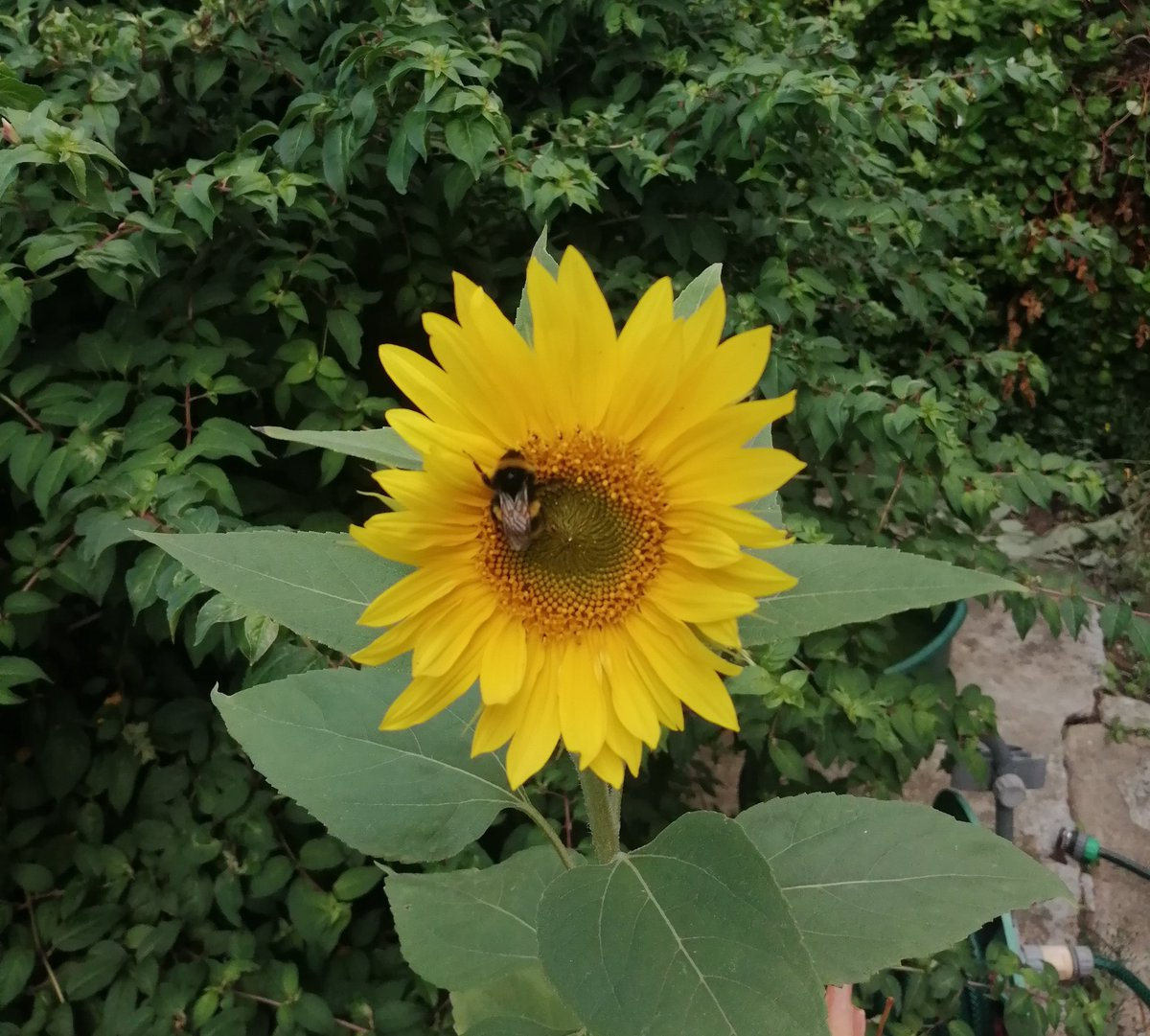 First sunflower of the season is out!
