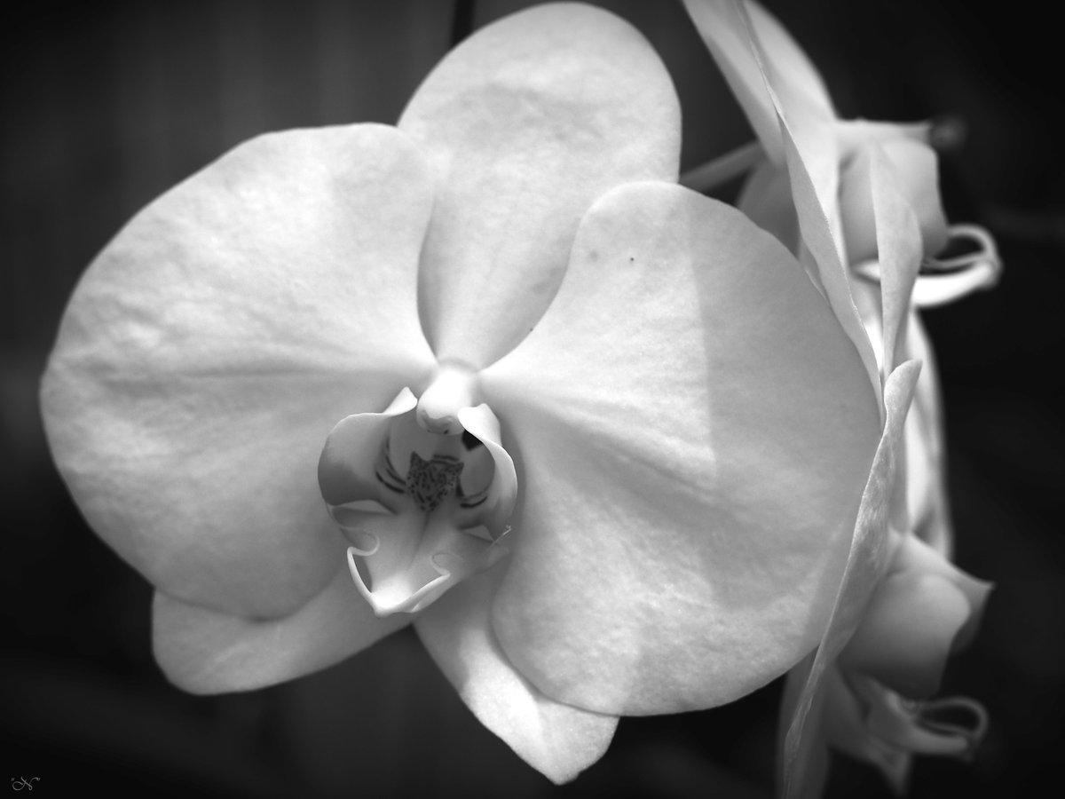 #orquídea #orchid #fotografía #photography #blancoynegro #blackandwhitephotography #blackandwhite #bw #monochrome #monochromephotography pic.twitter.com/Qb5HibVTxu