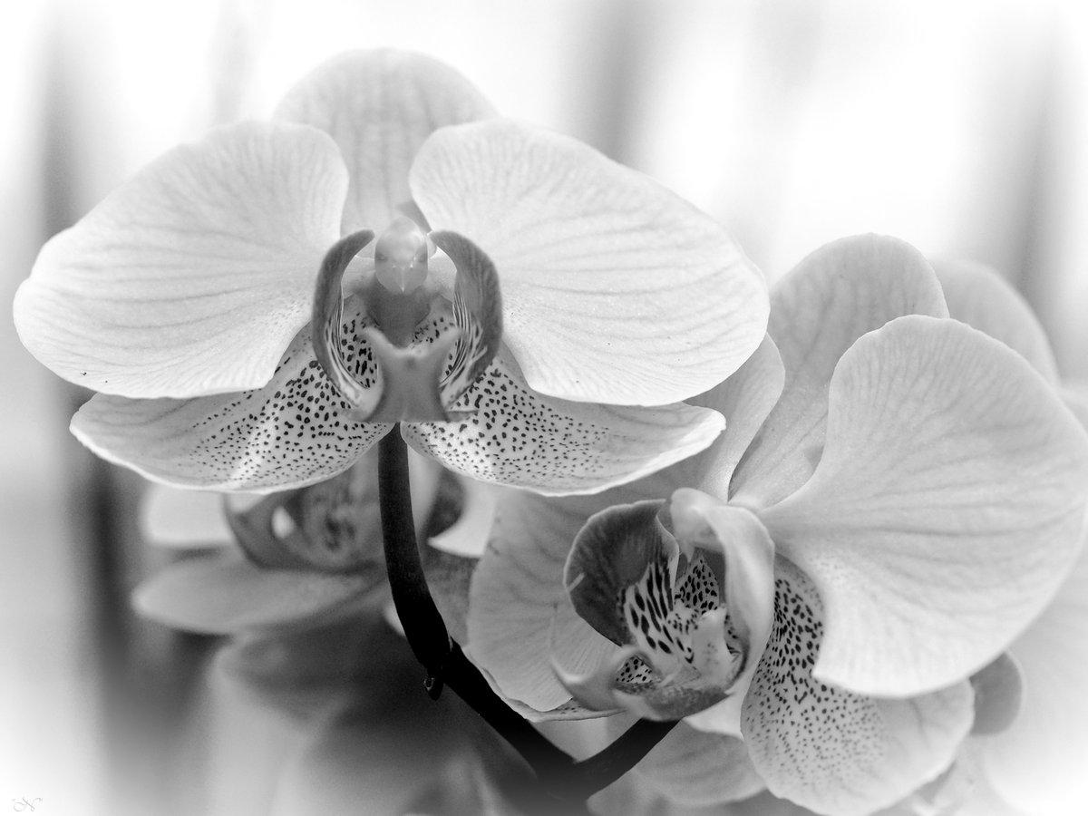 #orquídea #orchid #fotografía #photography #flowersphotography #blancoynegro #blackandwhitephotography #blackandwhite #bw #monochrome #monochromephotography pic.twitter.com/STteiVOZHV