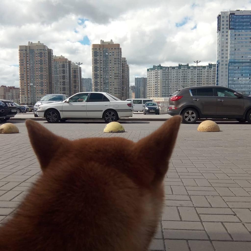 #питомец @stacy.kms #Сайчи ##demishstar #shibainu #сибаину #shiba #сиба #shibadog #shibamania #shibalove #shibastagram #shibagram #shibasofinstagram #japanesedog #dog #собака #instagramdogs #dogsofinstagram #dogstagram #dogsofinstaworld #cutedog #… https://instagr.am/p/CCf-V9Yjc5E/pic.twitter.com/XKjENfHGsP