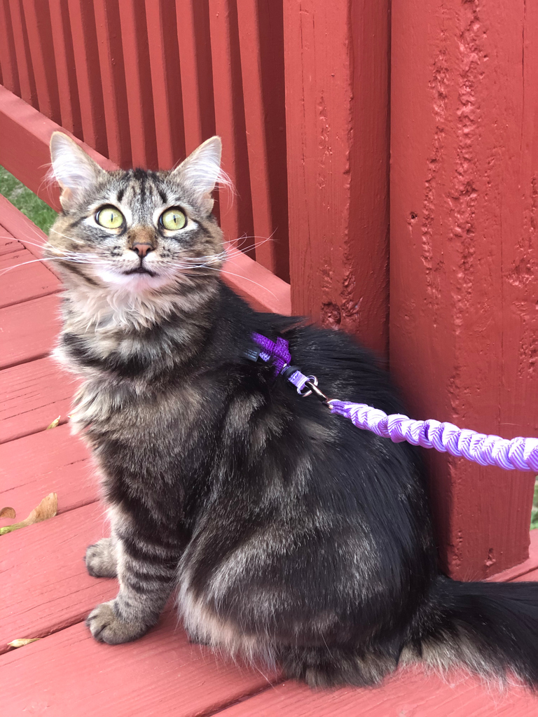 I'll just leave this right here for you. #catsonleashes #perfectkitty #outdoorcat #wildthing #ryanthompsontattoos #freyathemagicalkitten #kitten #kittensofinstagram #kittens #instakitty #catsofinstagram #catboss  #cat #cats #dailyfluff #kittensdaily #meow #kittycatpic.twitter.com/WSxfcua3lI