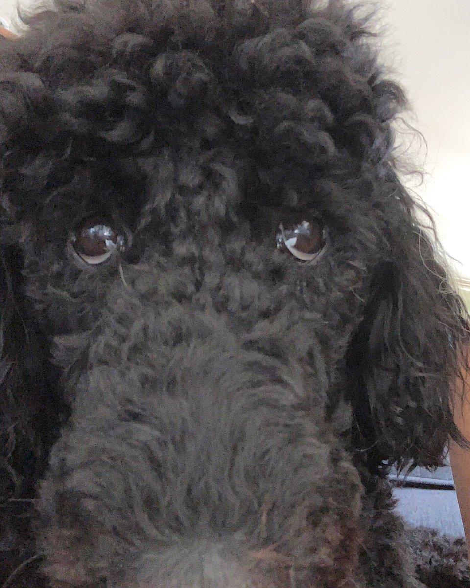 Josie's Saturday Selfie!  #spoo #standardpoodle #poodle #stillapup #saturday #poodlesofinstagram #dogsofig #dogsofinstagram #dogsofinstaworld #dogsofinsta #Saturdayselfie #dogs @kevinnelson2054 @abbyleigh2 @littlestcorkypic.twitter.com/Poh85uUKNF