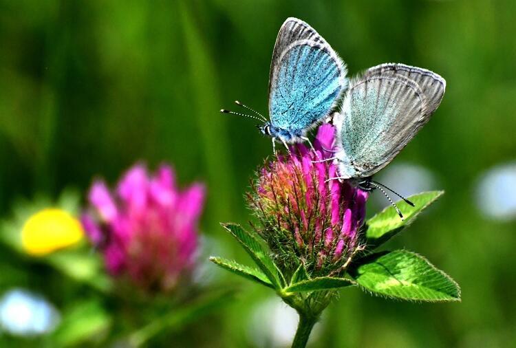 Bosna'da mezarlar bitkilerle gizlendi. Manyetik dalgaları şaşırtmak için metal parçalar kondu.Ama katiller mucizeleri unuttu.Mezarlarda 'Kan çiçekleri' açtı.Üzerlerine yalnız onlarla beslenen Mavi kelebekler kondu.Kelebeklerin izi sürüldü ve 300 mezar doğanın işbirliği ile buldu. https://t.co/i1GG3Babb2