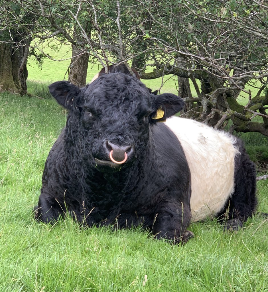 Social media for cows