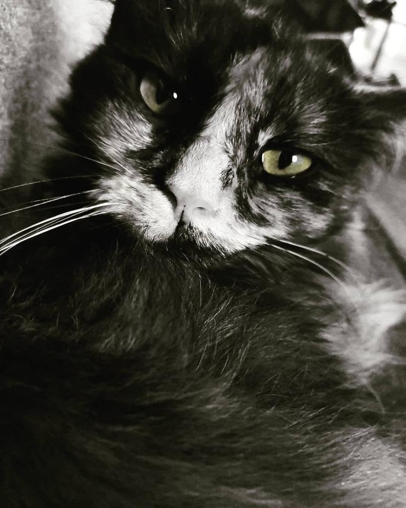 #caturday #catstagram #catsofinstagram #mainecoon #cute #couch #couchtime #sleepykitty #greeneyes #blackandwhite #dailycats #dailyfluff #catlover #purrfect #meow https://instagr.am/p/CCg5ETAoPpy/pic.twitter.com/Lvjx2B2Vkv