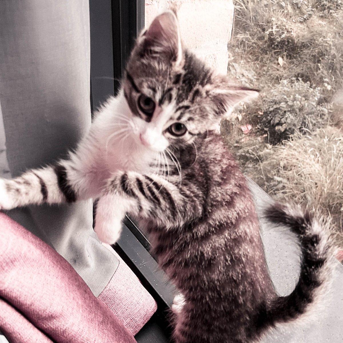 Curtains are for climbing?  #CatsOfTwitter #TwitterCats #Cat #Kitten #Cute #TabbyCat #TabbyTroop #JoyOfCatspic.twitter.com/77YtwUK3wy