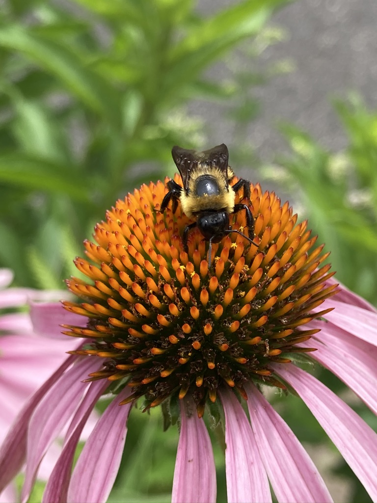 What did I do in the Great Shutdown, you ask? I took pictures of bees.