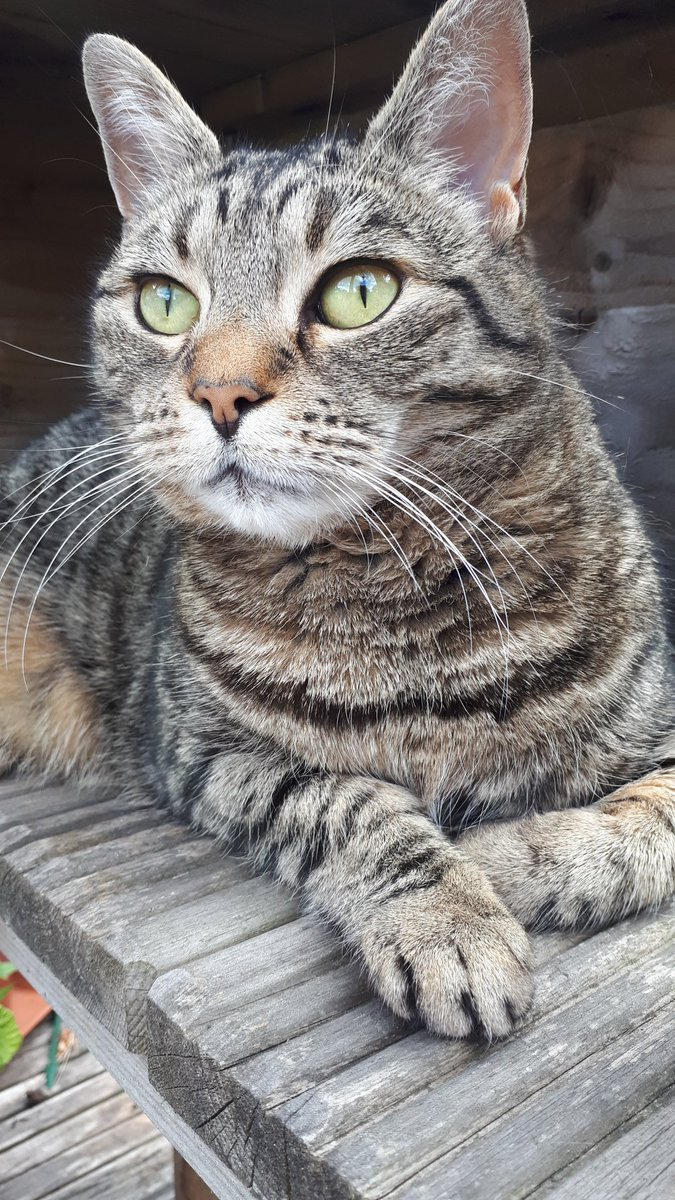 Hang on, what's going on? Them pesky birdies disrespecting me again? It's an outrage! Gracie-May on #Caturday @CatsProtection @ProtectaPet #AdoptDontShop #CatsOfTwitter #TabbyTroop pic.twitter.com/O2DI2S668h