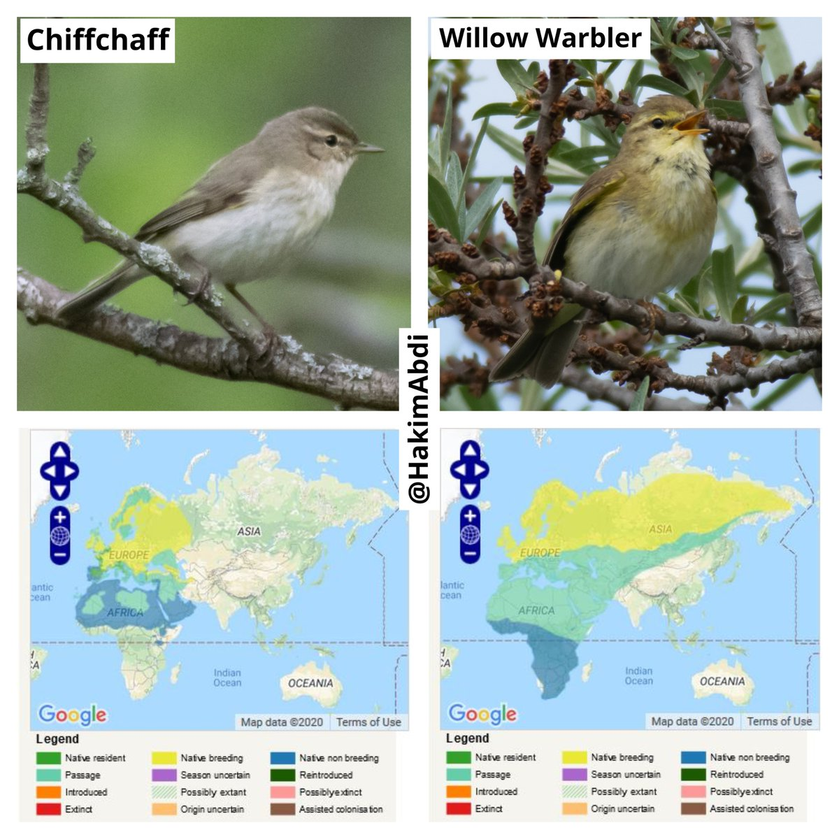 Willow Warblers that breed here are highly migratory. They generally spend the winter in parts of West Africa, and much of Southern Africa. As you can tell from the maps below, Willows and Chiffchaffs spend the winter in different parts of the continent. /2 #birdmigration