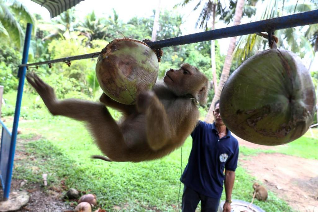 Thai monkey trainer rejects PETA claims on coconut harvesting https://t.co/100V3ve77P https://t.co/zNuyxnkC4o