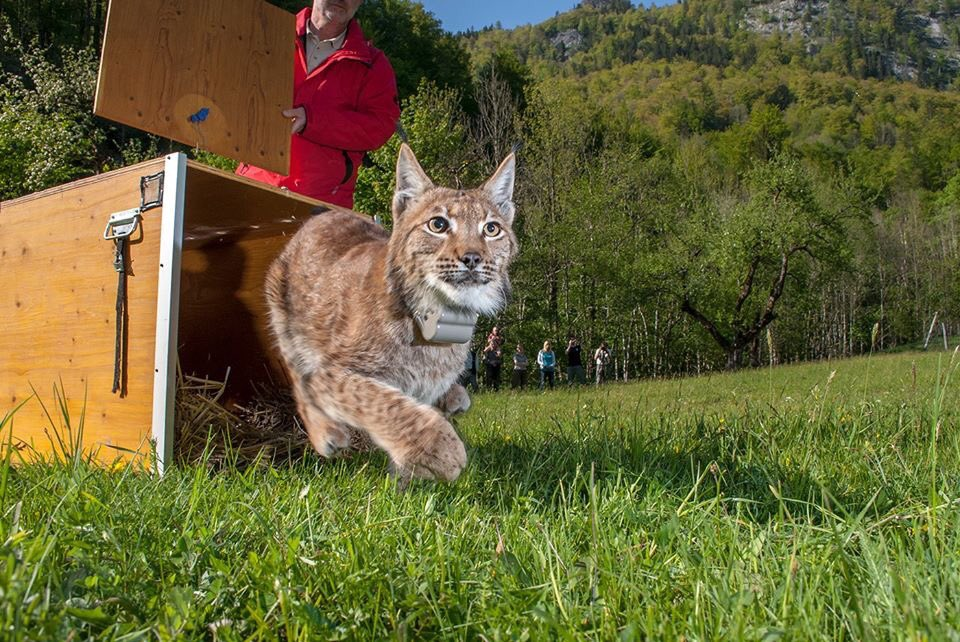 Could we live alongside lynx? A tantalising prospect for some but for others, represents an unwelcome imposition. Read our lynx Rewilding Story here: bit.ly/2CikC3n ...and then join us for a live webinar next week to explore that very topic: bit.ly/31Rdaqy