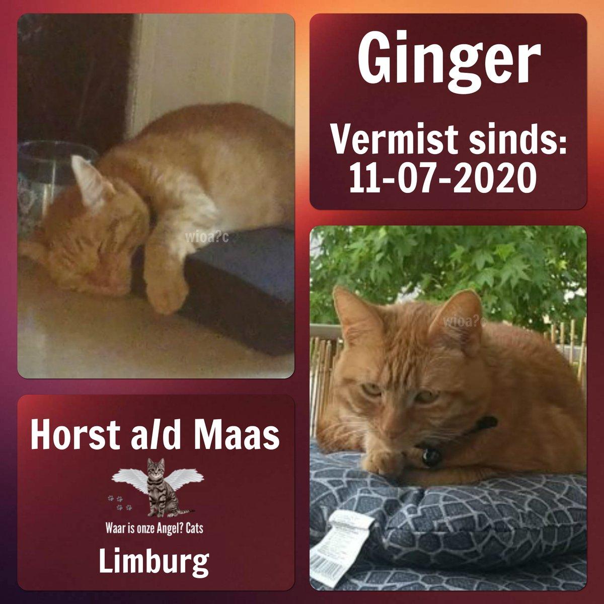 Ginger #Vermist sinds 11-07-2020 te #HorstadMaas #Limburg #Nederland   https://www.facebook.com/380079362362937/photos/rpp.380079362362937/1158910644479801/?type=3&theater…pic.twitter.com/UIhQ0sTAPc
