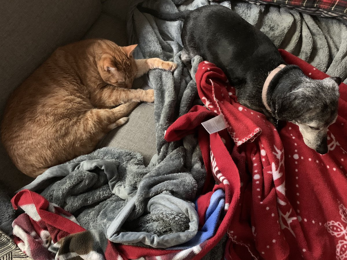 #Caturday napping with the old sausage dog. Somehow we made a mess of these blankets. #Gingers #TabbyTroop #CatsOfTwitterpic.twitter.com/LEGlyJZehw