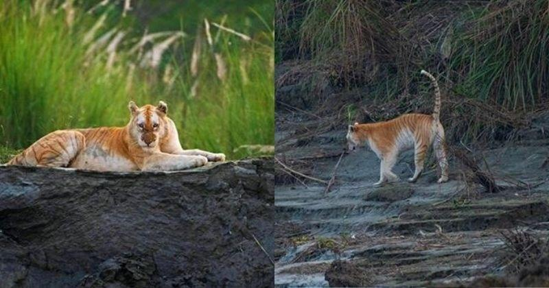 Golden Tiger real morph of a Royal Bengal Tiger ....India is also the home of a Golden Tiger.   Clicked by wildlife photographer Mayuresh Hendre pic.twitter.com/xLAEZ61hQr