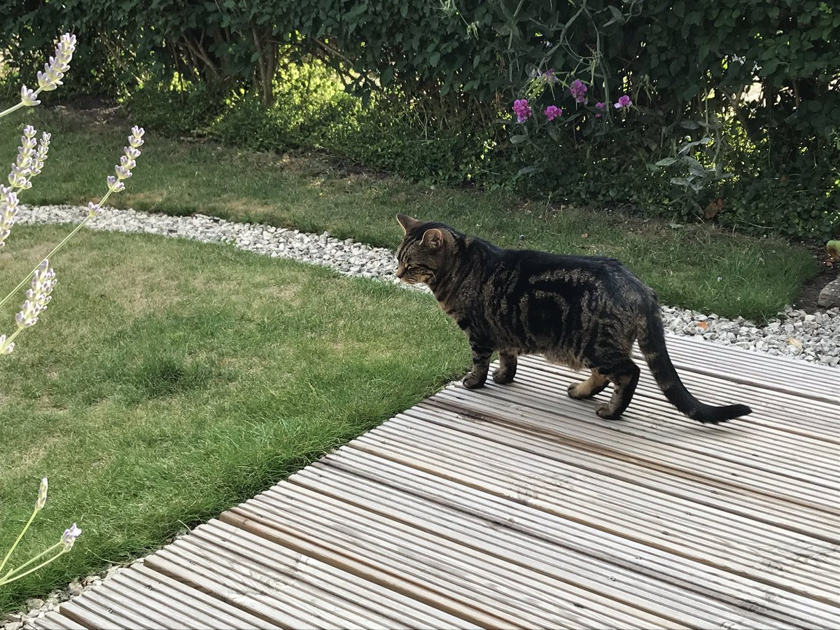 Oh to be a cat! Always busy... check this hedge, check that patch, up, down and around all day long keeping an eye of the boarders! It's been a fun one furpals #TabbyTroop #CatsOfTwitter #hedgewatchpic.twitter.com/Se8n22RXVm