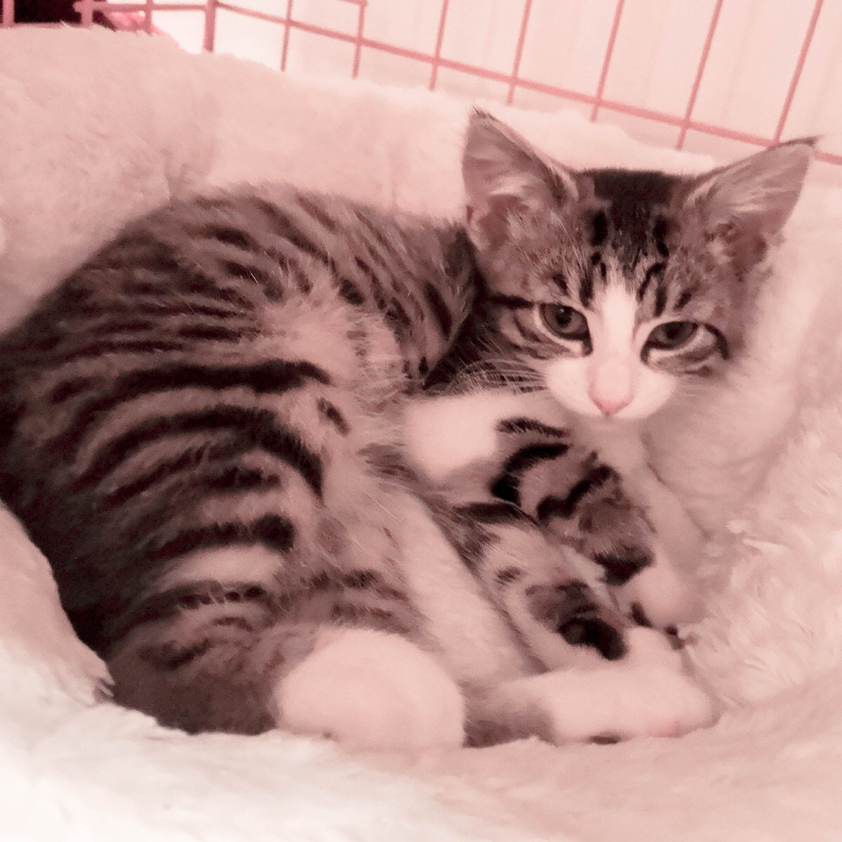 My bed is so comfy and cozy!  #CatsOfTwitter #TwitterCats #Cat #Kitten #Cute #TabbyCat #TabbyTroop #JoyOfCatspic.twitter.com/QIluBT2D99