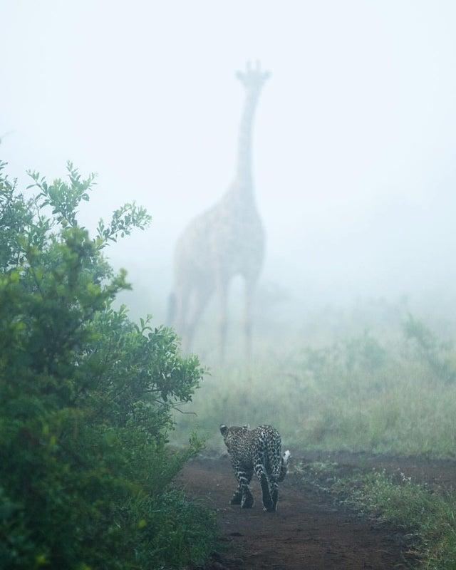 RT @imgnaturaleza: Jirafa y leopardo en la niebla!! 🦒🦒 https://t.co/riuHxXWb33