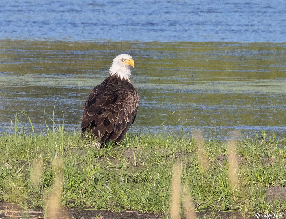Another from this morning. I wish e-Bird was around 20+ years ago when I started birding. I'd like to compare how often Bald Eagles showed up on a checklist vs. how often they do now. We see them in so many habitats and areas here now. #SouthDakota #birding <br>http://pic.twitter.com/3dzP5R0ktX