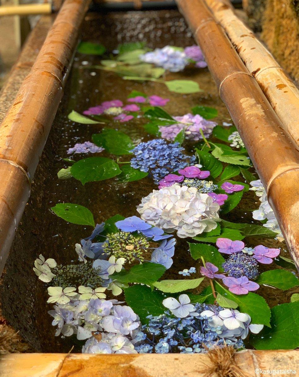 【今流行りの】 #花手水 やってみました。 #萬葉植物園 の #アジサイ が今年は誰の目にもふれずに終わりそうでしたのでこちらで見ていただければと。ちょっと控えめですが、色々な種類が浮かんでいます。鹿さんが気付くと食べられてしまうので、いつまであるかは分かりません…#春日大社 #紫陽花