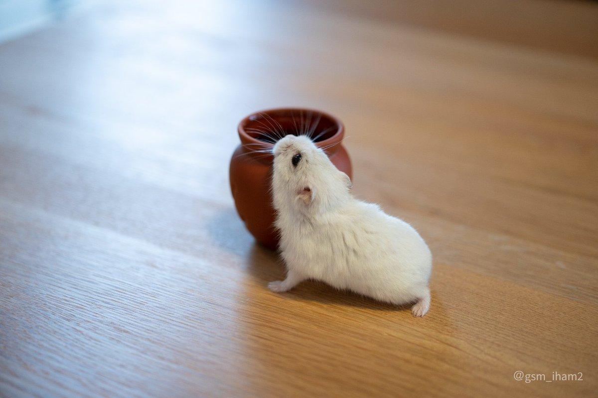 壺に入るハムスター。