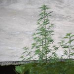 Image for the Tweet beginning: RT HimalayanJungle: Growing around cannabis