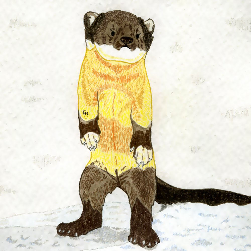 Yellow throated marten in the snow  I'm going back on some of the #colour_collective prompts I missed, this one is for #filigreegold #kidlitart #picturebooks #kidlitpic.twitter.com/yyQ4AERBF4