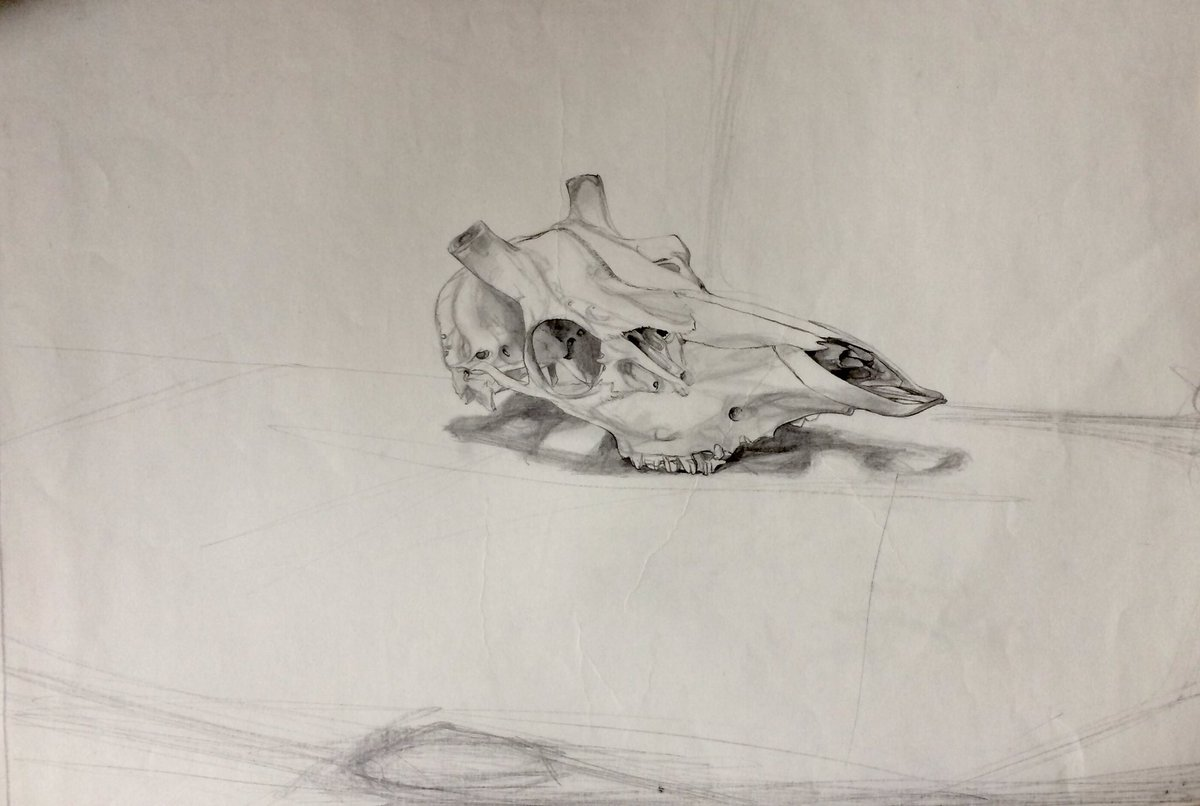 #skull of a #stag #stillife #drawing in #pencil