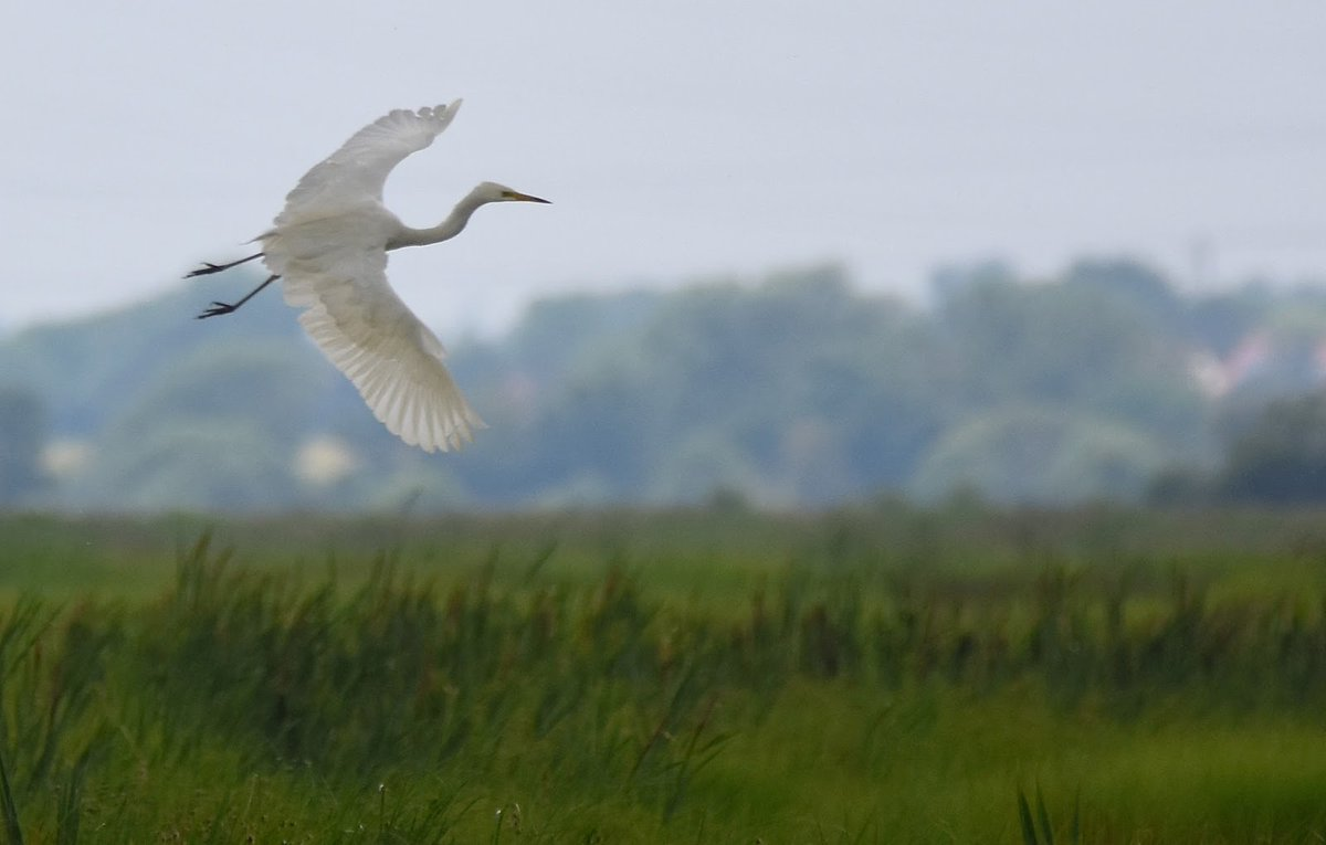 Great White Egret on the Somerset Levels. 😊 #TwitterNatureCommunity 🐦