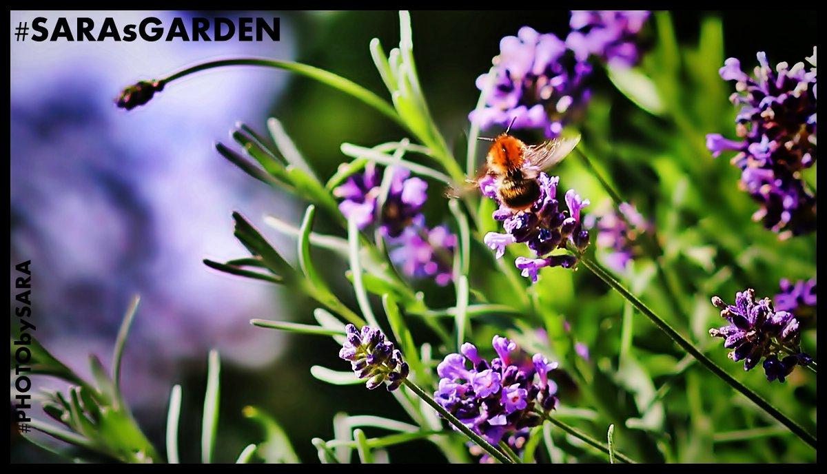 #SARAsGARDEN #PHOTObySARA  #LAVENDER #BEES #BUTTERFLIES #SUMMERTIME #HERBGARDEN #GARDENKITCHEN https://t.co/R4YPp5uK90