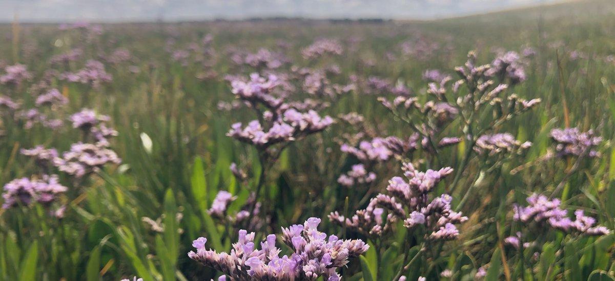 A sea of Sea Lavender brightening up the salt marsh  #wildflowerhour <br>http://pic.twitter.com/5KAELIeQFt
