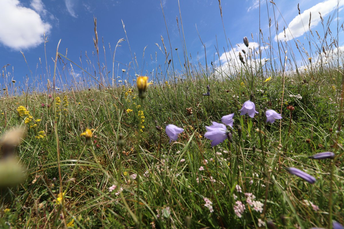 Harebells on the  hillside #wildflowerhour <br>http://pic.twitter.com/xw1HQw9LYl