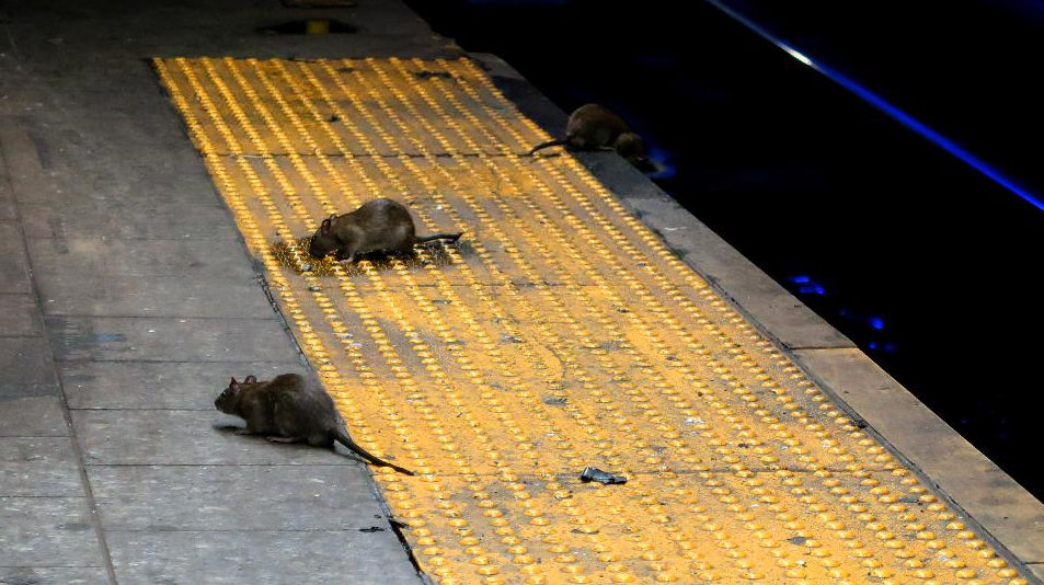 Famished NYC rats are harassing outdoor diners https://t.co/JswFQ4FQvg by @iamsternlicht https://t.co/58FcIzgMU3