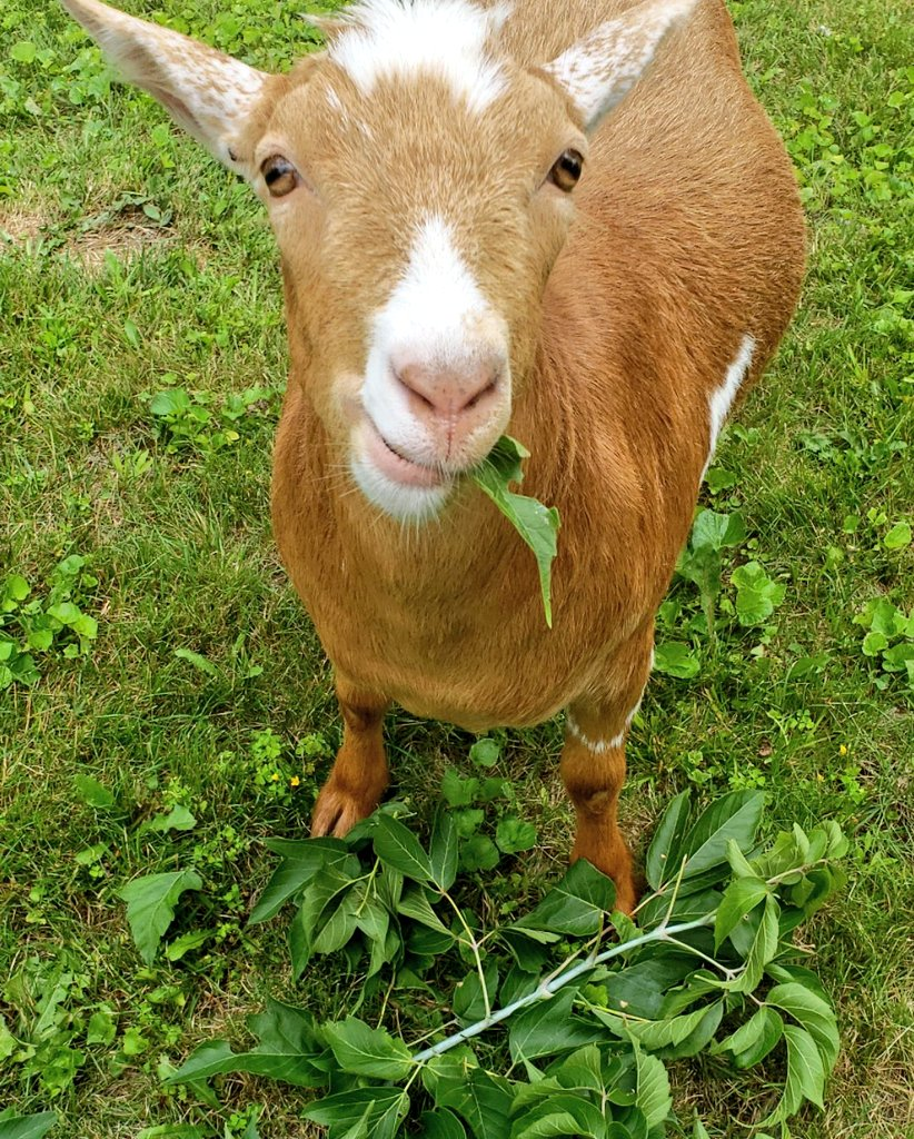 Mom gave me a pile of leaves! I'm a #happy #goat now!pic.twitter.com/Mk3QCK3VsQ