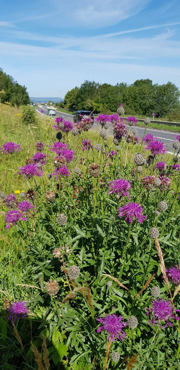 Greater knapweed monitoring the traffic heading to Bridport. #wildflowerhour. <br>http://pic.twitter.com/pXfdMsJr6j