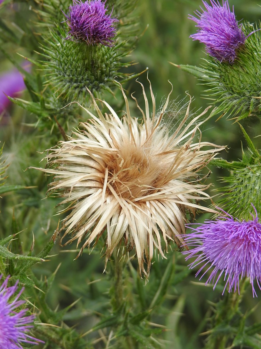 Spear thistle seed head (and younger siblings!) #wildflowerhour <br>http://pic.twitter.com/SIzhbaYScQ