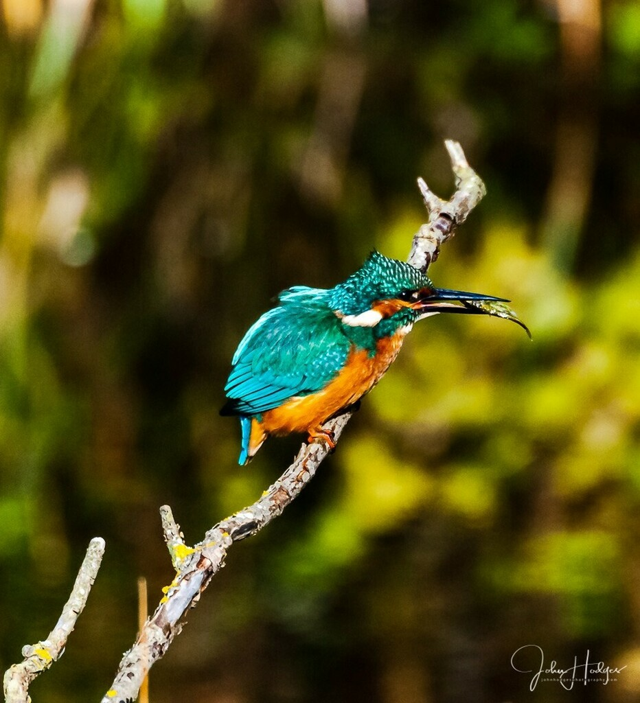 Kingfisher - Alcedo atthis #Discoverwildlife #repost #wildlifephotos #wild #wildlifephotography #kingfisher #birdsofinstagram #rspb #destination_wild #ourwildlifedays #wildglobe #natgeowild #wildgeography  #ukwildlife #featured_wildlife #photoofthedays #… https://instagr.am/p/CCjesIrAcQW/pic.twitter.com/OyS44vJqdA