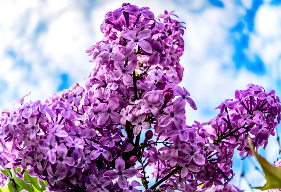 The fullest #lilac bush I have seen since I moved to #Colorado in 2015, found at #CityPark. I #love these #flowers, and would like a bush in my future #yard, where I will make sure to #water it so that it #blossoms to it's #fullpotential. #photography #nature #pretty #potd