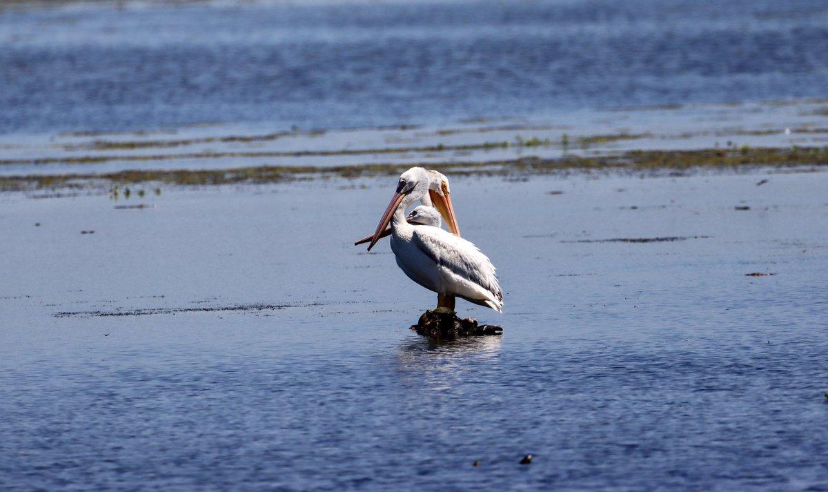 American White Pelicans #birds #birding <br>http://pic.twitter.com/HfhwiVUcDI