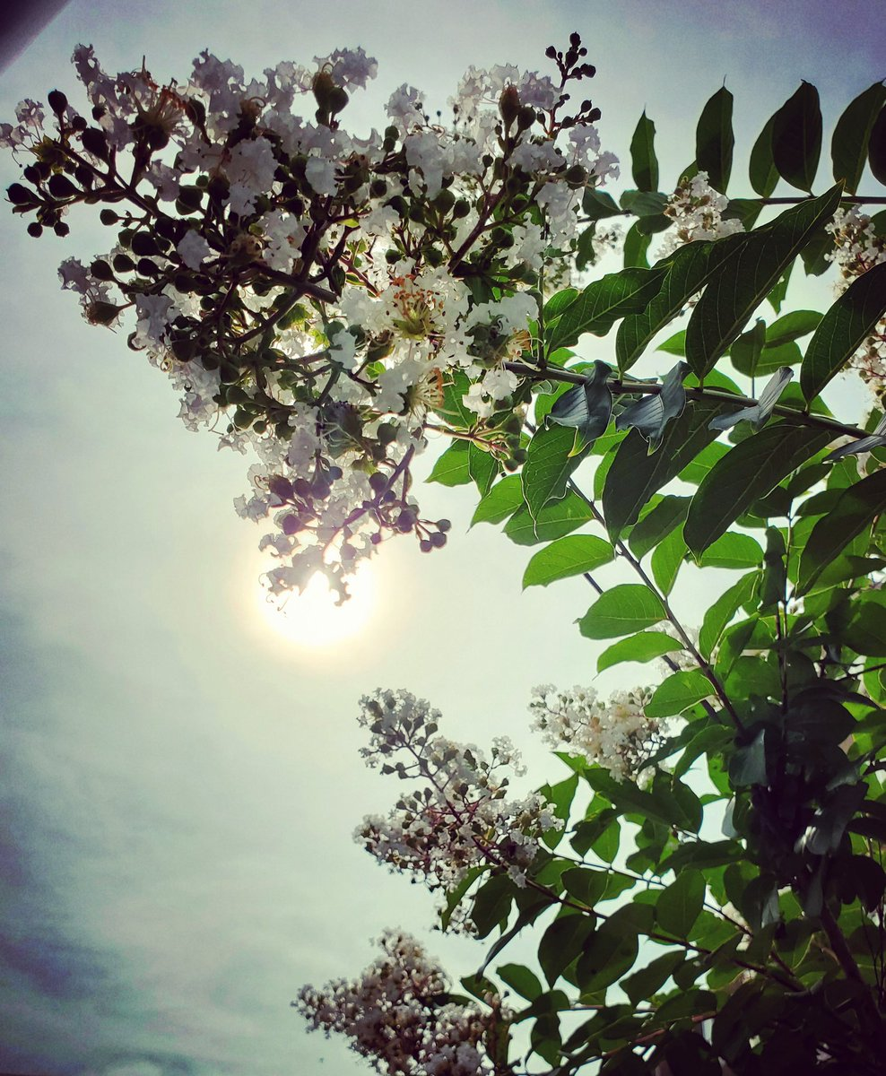おはよーございます。  雨ポツリ、雨ピタリ、の涼しい朝。 今年も爽やかに咲いた百日紅から、控えめな太陽の雫が玉をつくっておりました。  月曜日。 どんな楽しい1週間になるでしょね。  #sky #summer #flower #love #moritaMiW #空 #夏 #百日紅 #サルスベリ #佳い一日の始まり