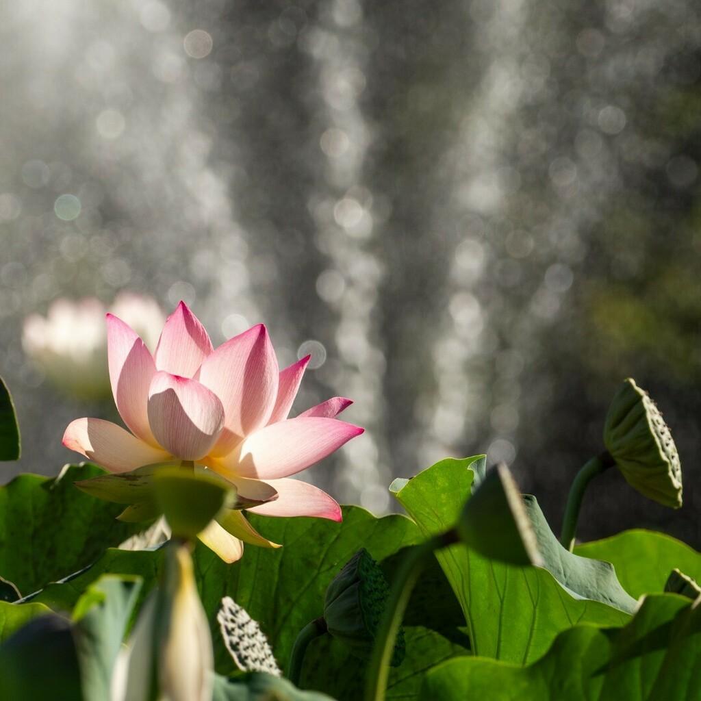 #lotusflower #Landpark #Sacramento #California #justgoshoot #visualsoflife #beautifuldestinations #micro43photography @lumixusa #Lumixmasters #mirrorless #panasonicGX8 @microfourthirdsgallery #CBS13 #kcra #amazing_california_shots #spectacularview #sacra… https://instagr.am/p/CCkNO0TJU5K/pic.twitter.com/0TgLExIgIU